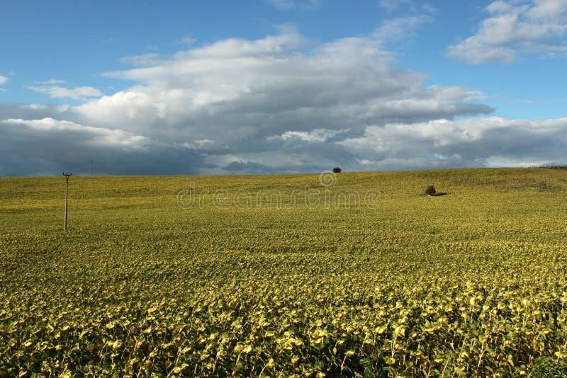 Żółty kwiatu pole zdjęcia stock