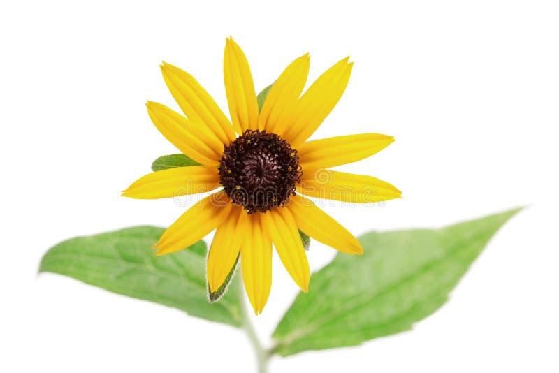 Żółty kwiatu rudbeckia hirta odizolowywający na bielu obraz stock