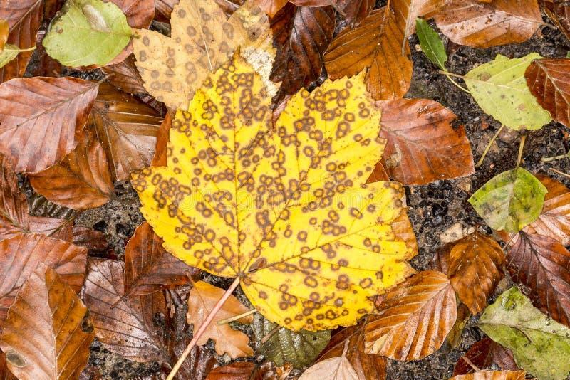 Żółty liść klonowy w jesieni, Niemcy obraz stock