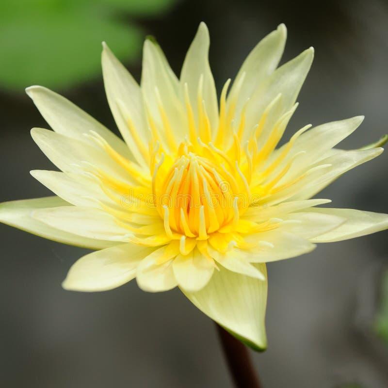 Żółty lotosowego kwiatu i liści tło zdjęcia stock