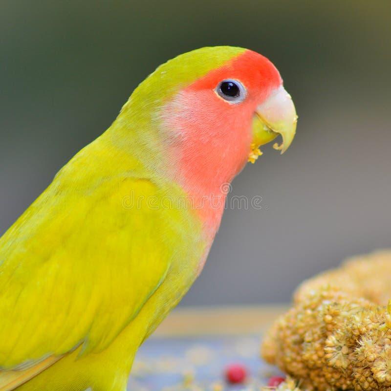Żółty Lovebird obrazy royalty free