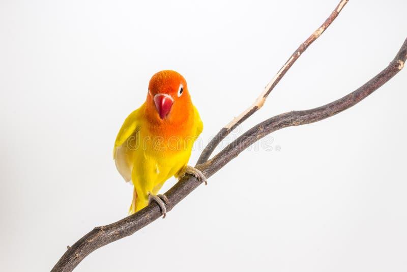 Żółty Lovebird na gałąź obraz stock