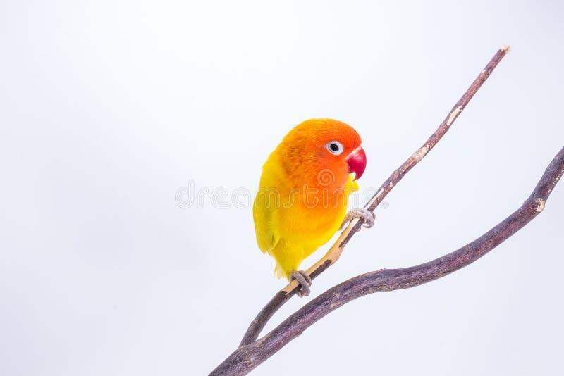 Żółty Lovebird na gałąź obrazy stock