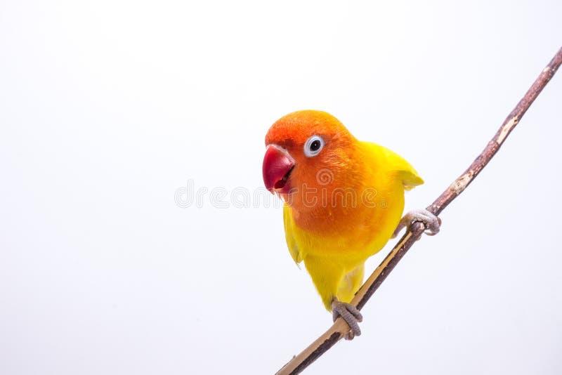 Żółty Lovebird na gałąź obraz royalty free