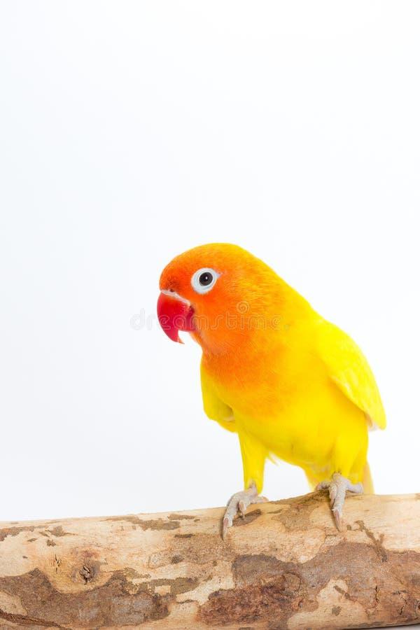 Żółty Lovebird na gałąź zdjęcia stock