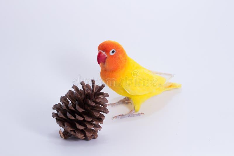 Żółty Lovebird na gałąź zdjęcie stock