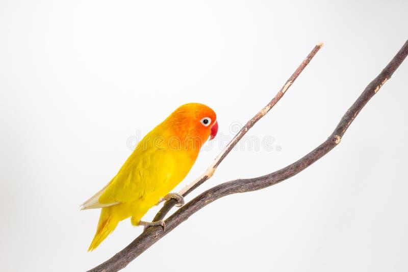 Żółty Lovebird na gałąź obrazy royalty free