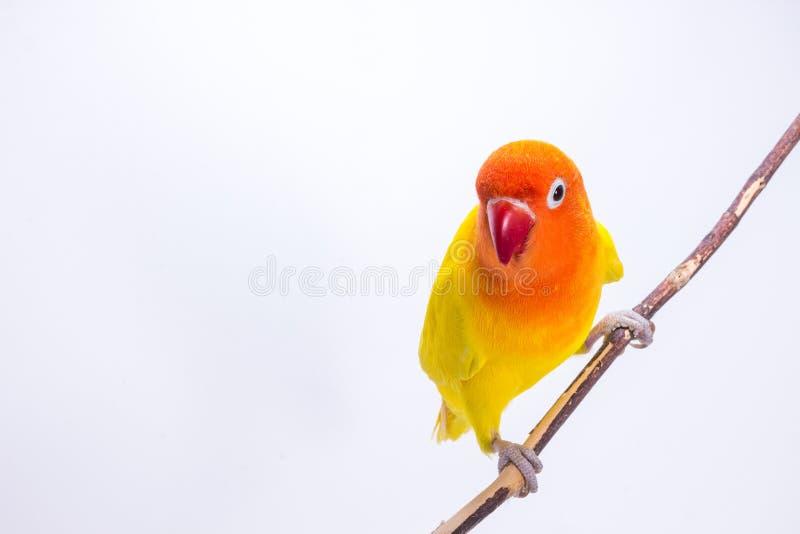 Żółty Lovebird na gałąź fotografia royalty free