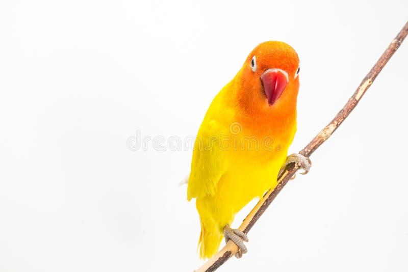 Żółty Lovebird na gałąź fotografia stock
