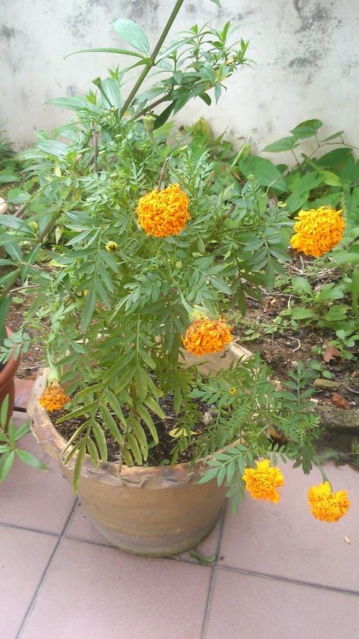 Żółty Marzycielski kwiat zdjęcie royalty free