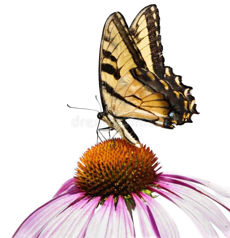 Żółty motyl i purpura rożka kwiat Odizolowywający obraz royalty free