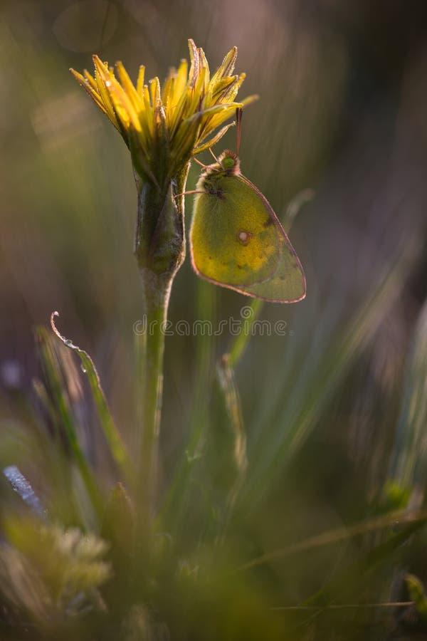 Żółty motyl na żółtym kwiacie zdjęcia royalty free