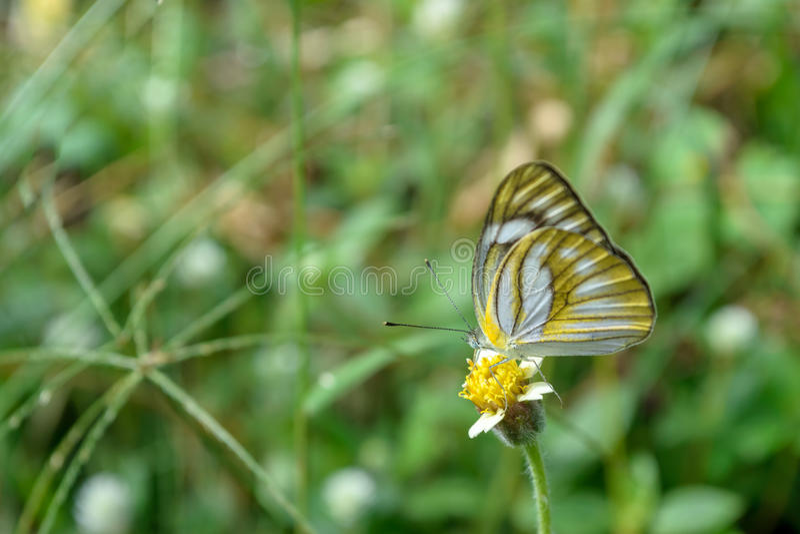 Żółty motyl na białym kwiacie obrazy stock