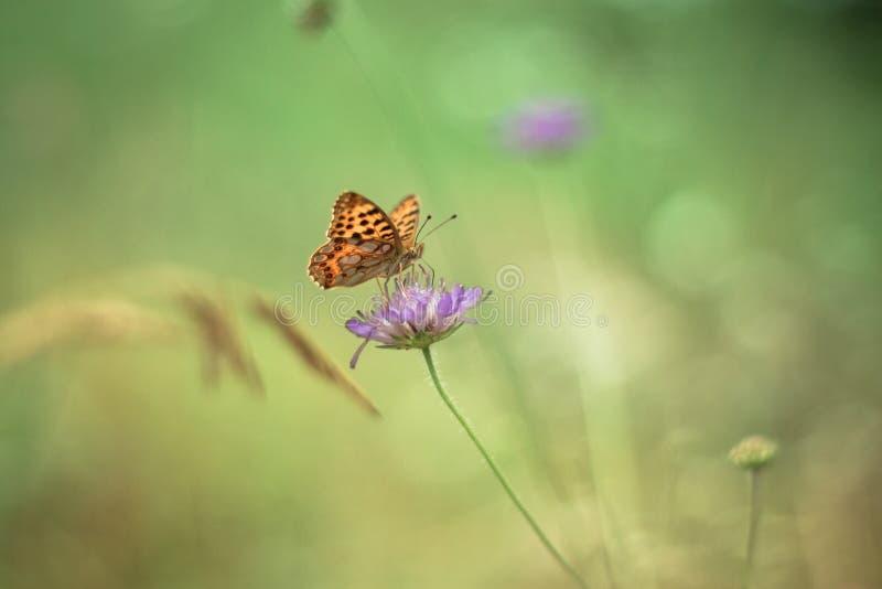 Żółty motyl na purpura kwiacie - monarcha zdjęcie stock