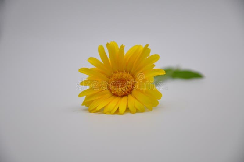 Żółty nagietek Kwiat z białym tłem obraz royalty free