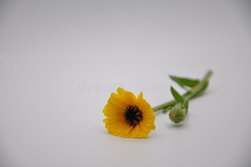 Żółty nagietek Kwiat z białym tłem obrazy royalty free