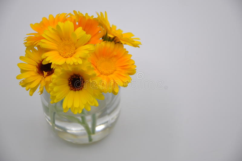Żółty nagietek w szkle Kwiat z białym tłem fotografia royalty free