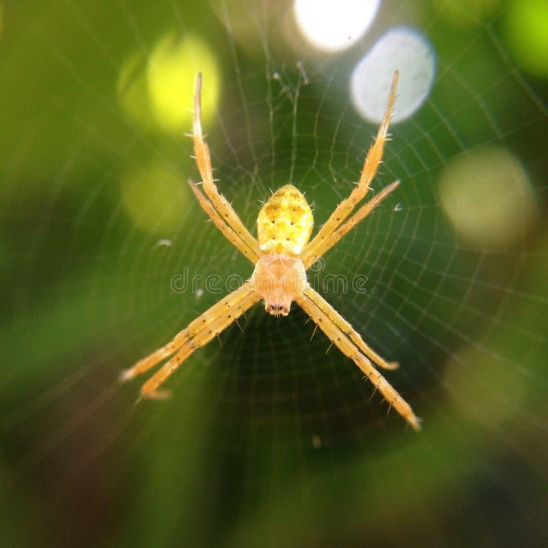 Żółty pająk zdjęcie stock