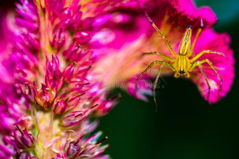 Żółty pająk na menchia kwiacie zdjęcia royalty free