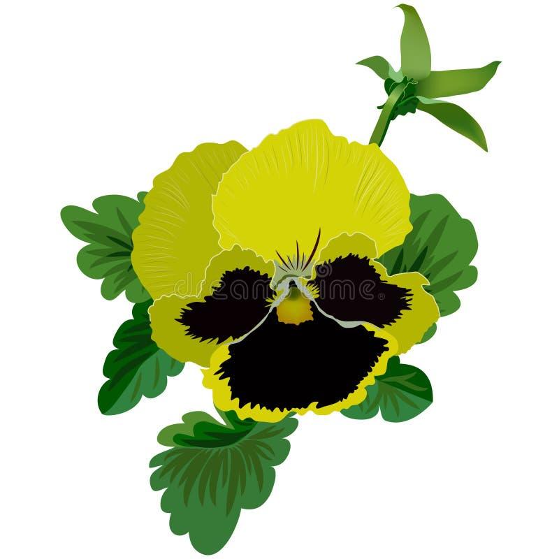 Żółty pansy kwiat z liśćmi i pączkiem ilustracji