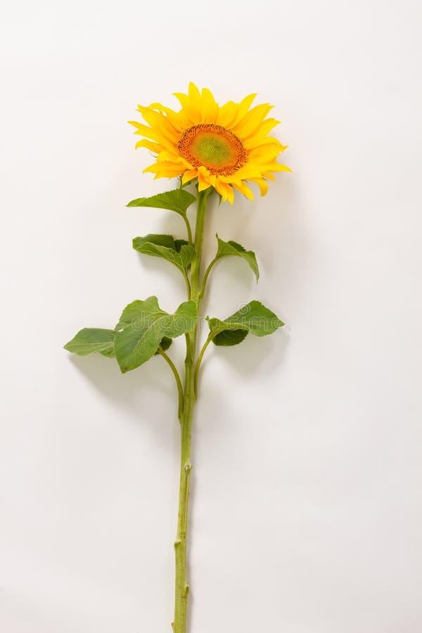 Download Żółty piękna słonecznikowy zdjęcie stock. Obraz złożonej z bukiet - 57665140