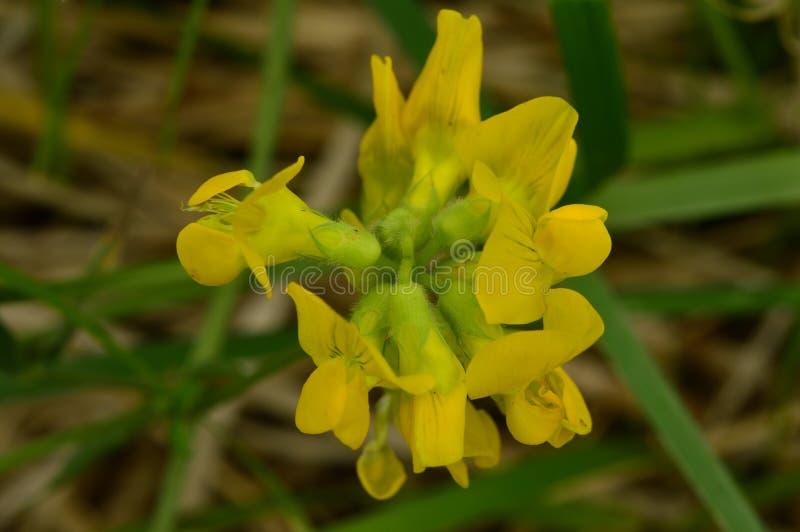 Żółty piękny kwiat dzikiej rośliny łąkowy vetchling zdjęcie royalty free