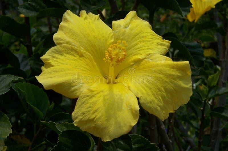 Żółty poślubnik obraz stock