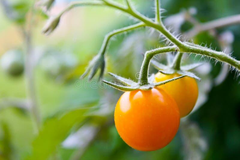 Żółty pomidor zdjęcie stock