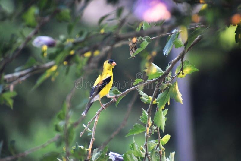 Żółty ptak na gałąź zdjęcia stock