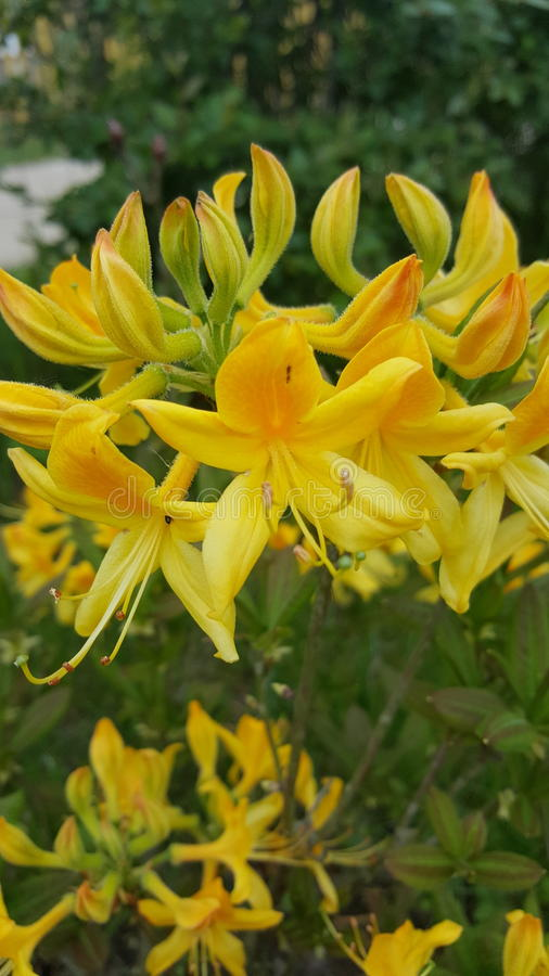 Żółty różanecznik obraz stock