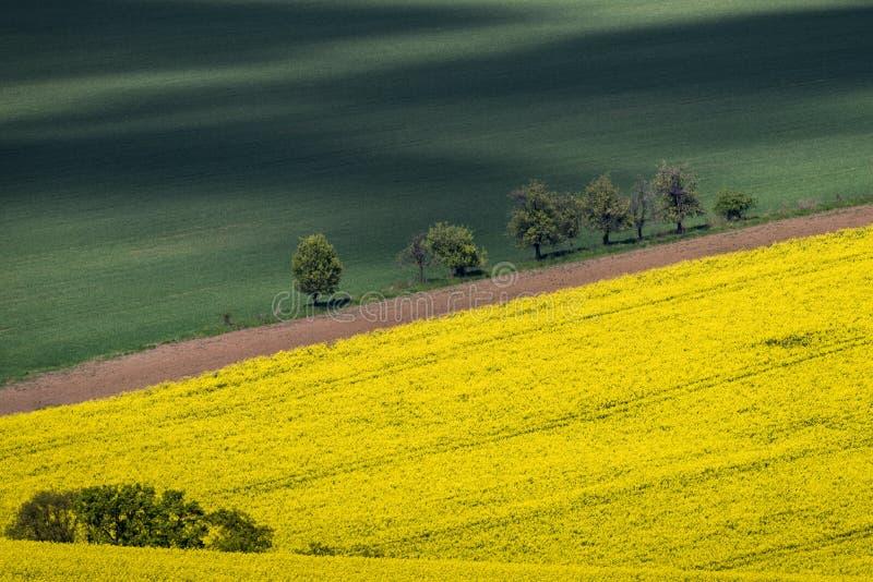 Żółty rapeseed pole z zieleni polem zdjęcie royalty free