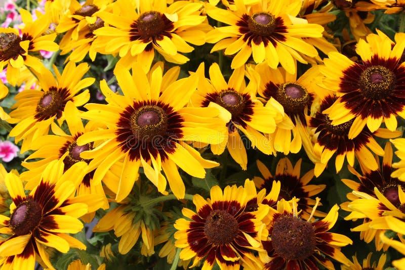 Żółty rudbeckia kwiat zdjęcie stock