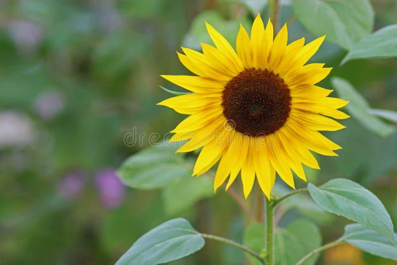 Żółty słonecznik w polu zdjęcie royalty free