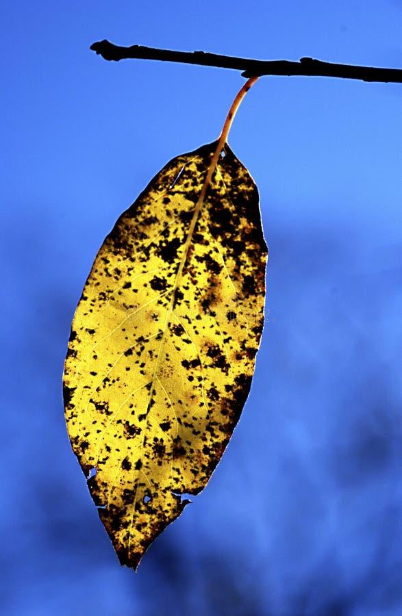 Żółty spadku liść w ranku backlight cades zatoczce obraz royalty free