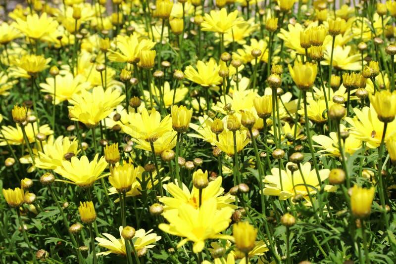 Żółty stokrotki Leucanthemum x superbum ` Broadway Zaświeca ` fotografia royalty free