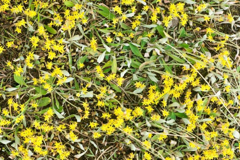 Żółty stonecrop kwitnie zbliżenie obraz stock