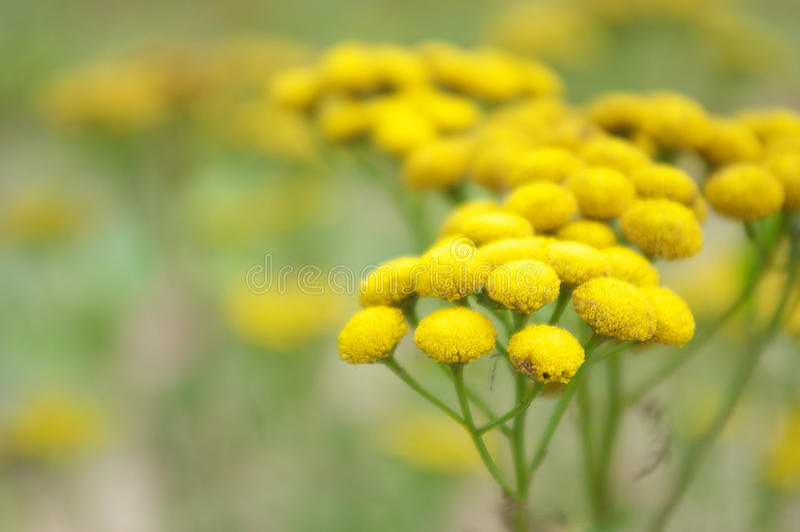 Żółty tansy obraz stock