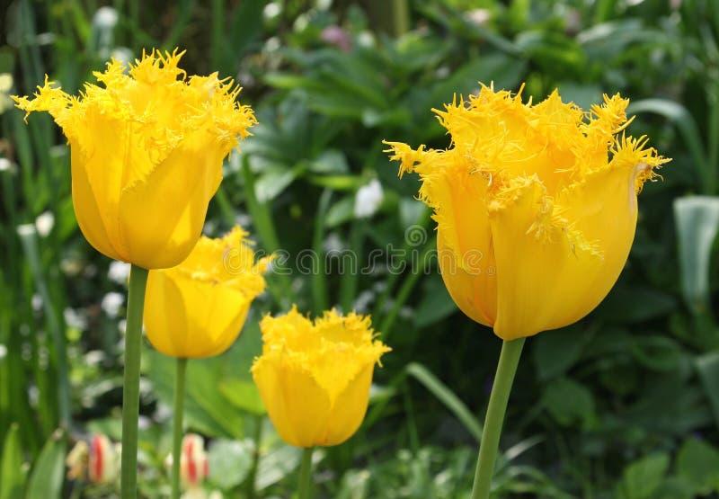 Żółty Tulipa Hellas w zakończeniu up zdjęcie stock