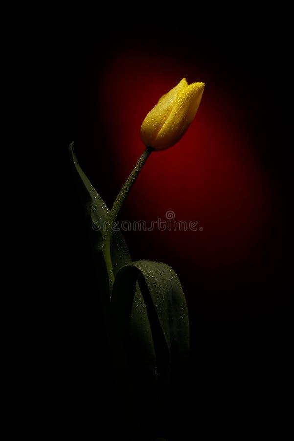 Żółty tulipan obraz royalty free