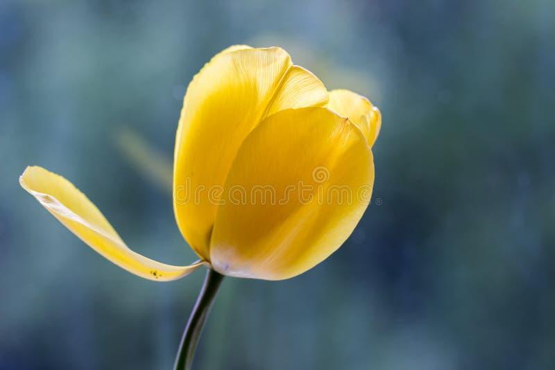 Żółty tulipan przeciw mlecznoniebieskiemu tłu zdjęcia royalty free