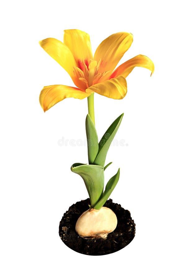 Żółty tulipanowy kwiat na białym tle (Tulipa kaufmanniana Joha obraz stock