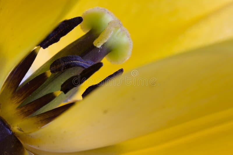 Żółty tulipanowy makro- zdjęcie royalty free