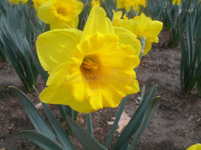 Żółty Wielkanocny Lilly zdjęcie stock