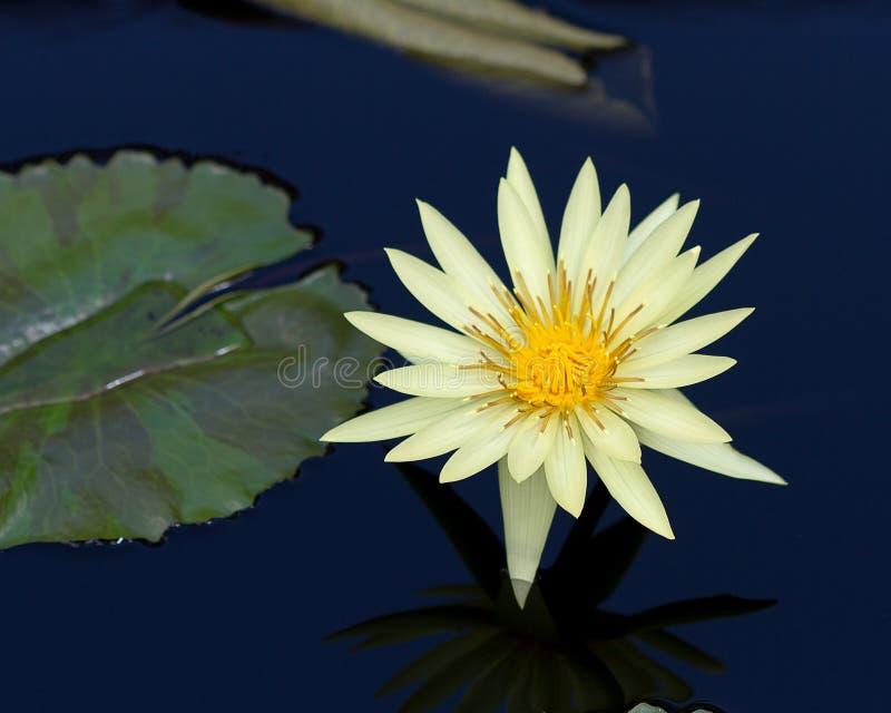 Żółty wodnej lelui kwiat obrazy royalty free