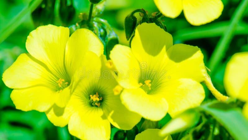 Żółty Woodsorrel zdjęcie royalty free