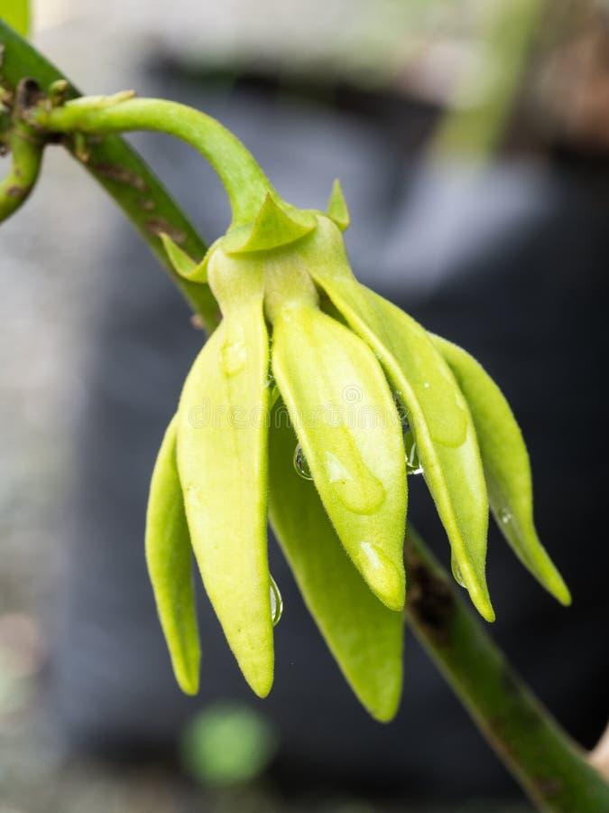 Żółty Wspinaczkowy Ylang-ylang kwiatu kwitnienie fotografia royalty free