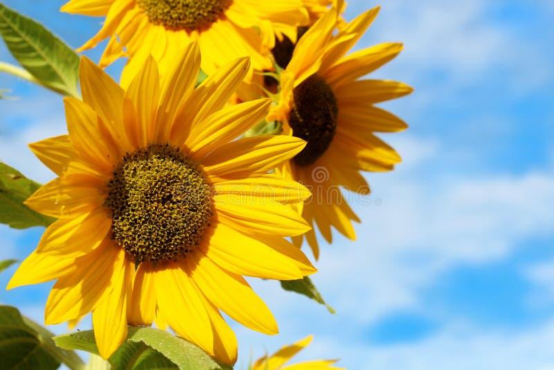 Żółtych słoneczników zamknięty up obraz stock