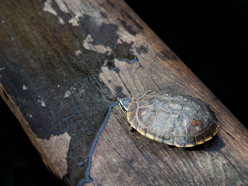 Żółw kryjówki świat na mokrym drewnie zdjęcia royalty free