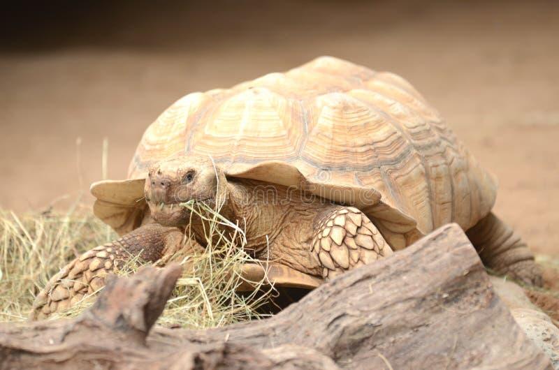 Żółw w Loro parku w Puerto De La Cruz na Tenerife, wyspy kanaryjska obrazy stock