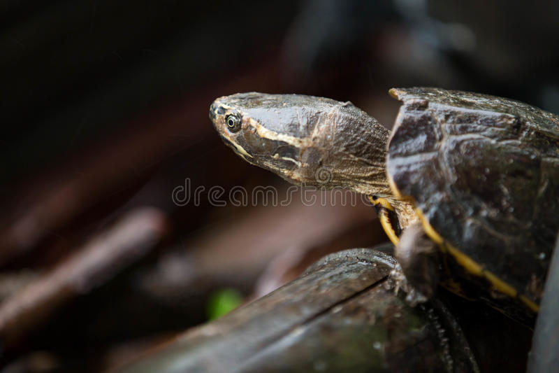Żółw z deszczem zdjęcie stock